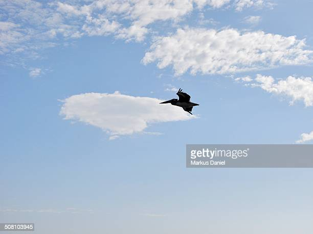 "silhouette of a single pelican bird, paracas, peru - ""markus daniel"" stock pictures, royalty-free photos & images"