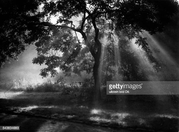 Silhouette of a sundrenched deciduous tree in the morning fog Photographer Ullmann Published by 'Hier Berlin' 40/1938Vintage property of ullstein bild