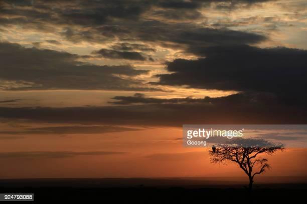 Silhouette of a tree at sunrise Masai Mara game reserve Kenya