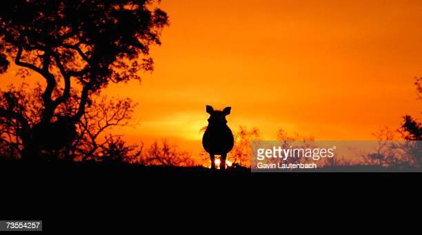 Silhouette of a Warthog (Phacochoerus africanus) at Sunset