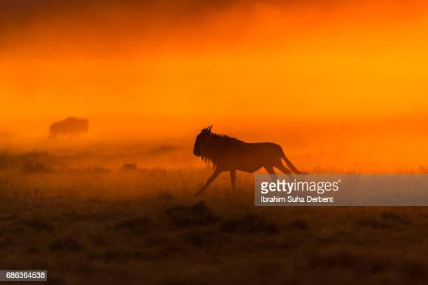 Silhouette of a  wildebeests at sunrise