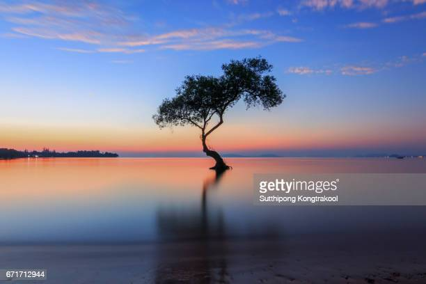 Silhouette of alone mangrove tree and morning sunrise with birds on the beautiful beach and sky at Chumphon, Thailand.