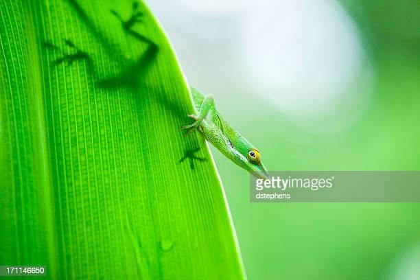 Silhouette von anole lizard auf Blatt