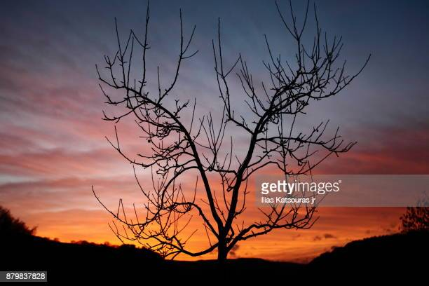 Silhouette of bare tree against sunset, cloudy sky