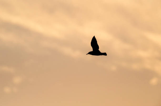 Silhouette of bird (seagull), flying in the sky at sunrise.