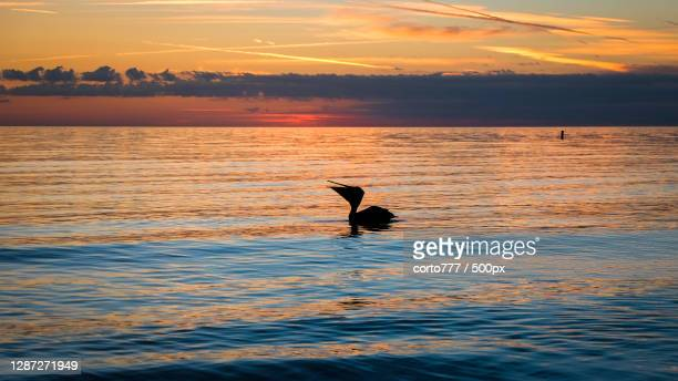 silhouette of bird flying over sea against sky during sunset,baie de tampa,floride,united states,usa - floride etats unis photos et images de collection