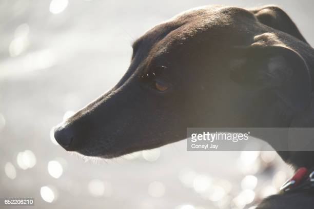 Silhouette of black male three year old whippet dog on the beach against a sparkling sea.