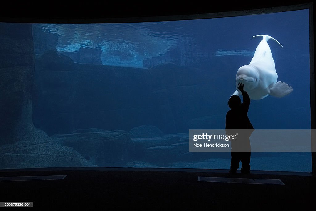 Silhouette of boy touching aquarium glass with Beluga whale, captive : Stock Photo