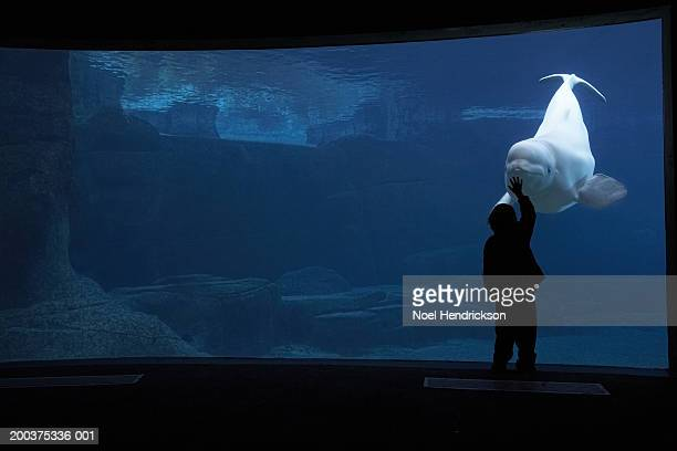 silhouette of boy touching aquarium glass with beluga whale, captive - beluga whale stock photos and pictures