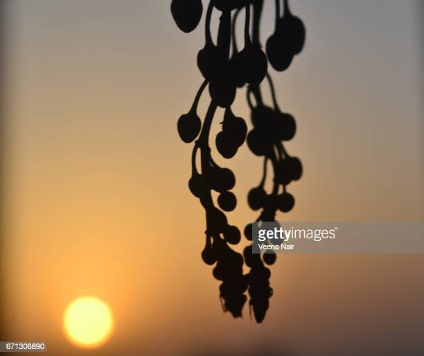 Silhouette of Cassia fistula/Golden shower against the rising Sun