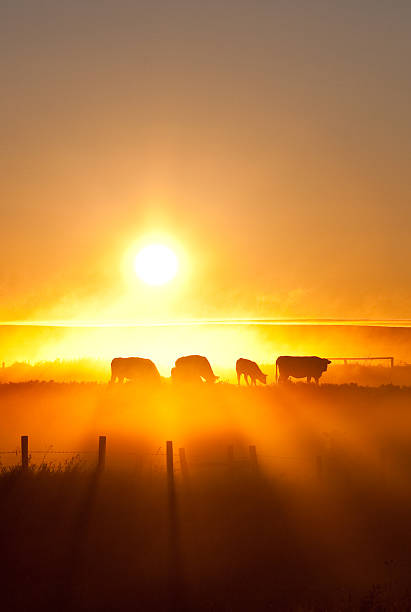 Silhouette Of Cattle Walking Across The Plans In Sunset Wall Art