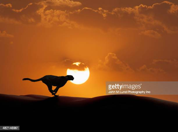 silhouette of cheetah running in desert - john lund stock pictures, royalty-free photos & images