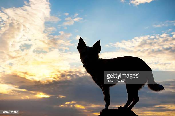 Silhouette of Chihuahua