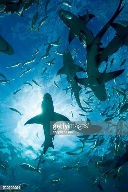 silhouette of circling sharks. - shark stock pictures, royalty-free photos & images