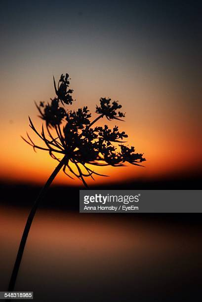 Silhouette Of Cow Parsley At Sunset