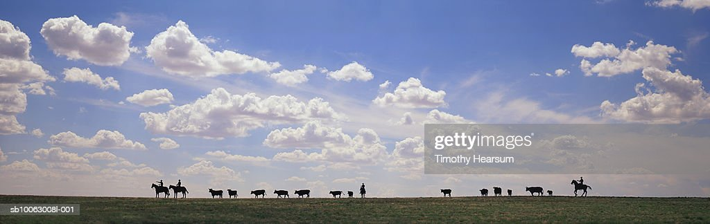 Silhouette of cowboys with cows on ridge : Stock Photo