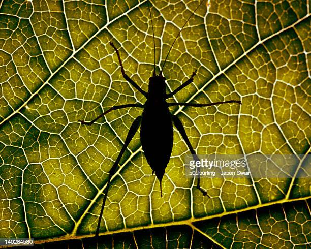 silhouette of cricket on leaf - s0ulsurfing stock pictures, royalty-free photos & images