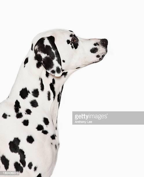 silhouette of dalmatian's face - dalmata imagens e fotografias de stock