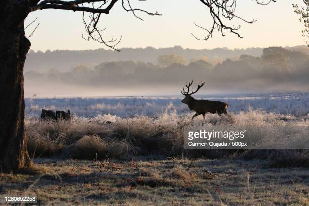 silhouette of deer standing on field against sky during sunset,greater london,england,united kingdom,uk - deer stock pictures, royalty-free photos & images