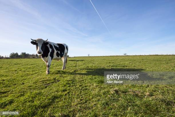 silhouette of diary cow in green field in north wiltshire - de corral fotografías e imágenes de stock