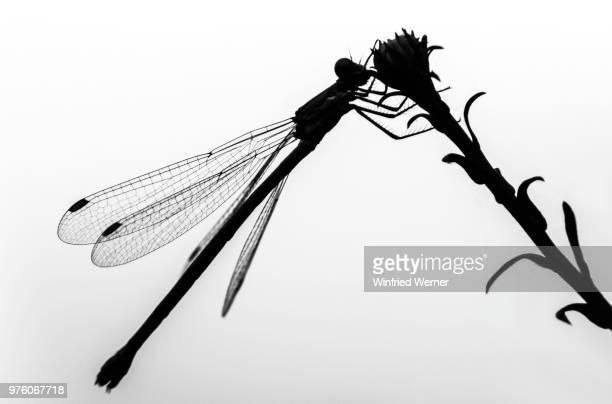 silhouette of dragonfly, kiel, germany - dragonfly stock-fotos und bilder
