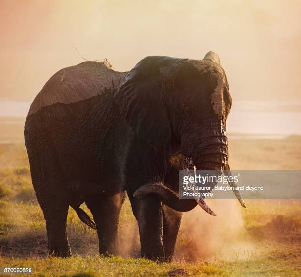 Silhouette of Elephant Dusting Against Sunset Sky
