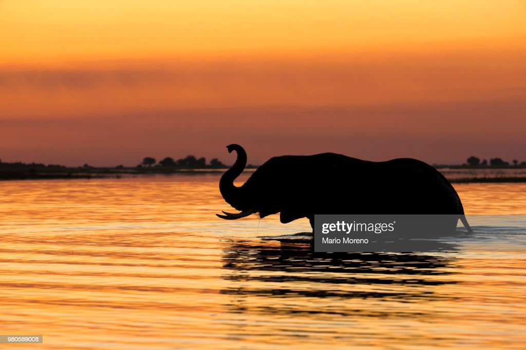 Silhouette of elephant in river at sunset, Chobe National Park, Botswana : Stock Photo