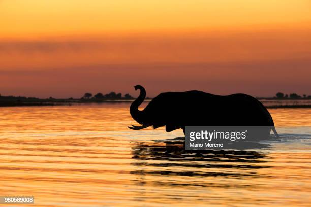 Silhouette of elephant in river at sunset, Chobe National Park, Botswana