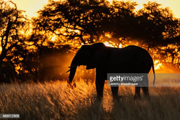 Silhouette of elephant in tall grass