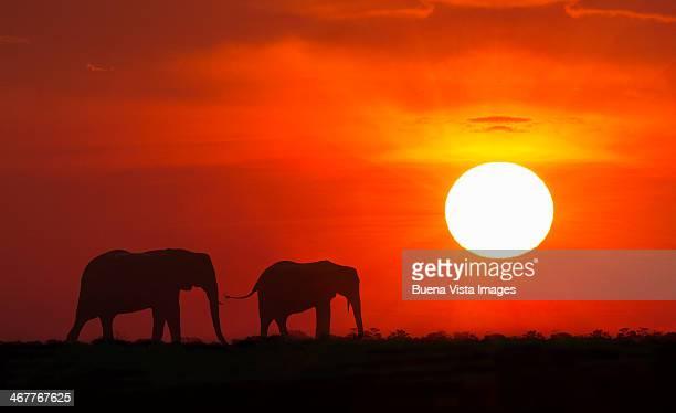 Silhouette of elephants (Loxodonta africana) at su