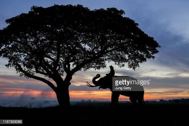 silhouette of elephants in thailand during sunrise time ,travel concept background - national team bildbanksfoton och bilder