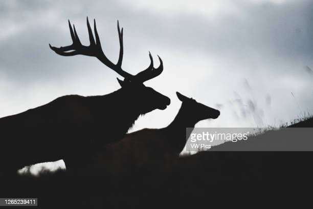 Silhouette of elk bull and elk cow in the matting season, Yukon Territory, Canada.