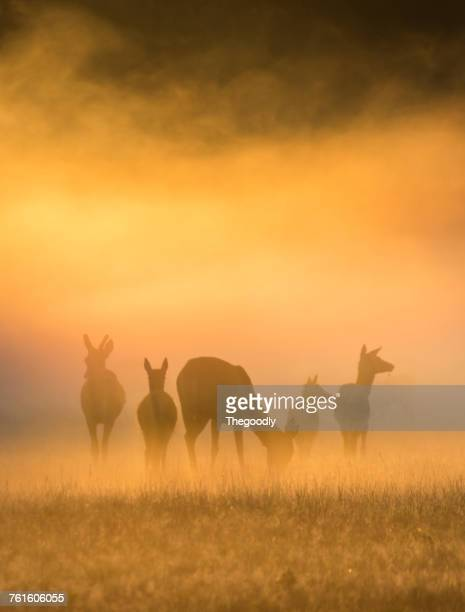 silhouette of five deer, windsor great park, berkshire, england, uk - windsor england stock photos and pictures