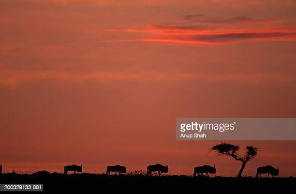 Silhouette of five migrating wildebeest (Connochaetes taurinus), Kenya