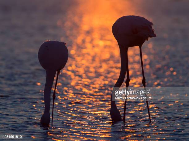 silhouette of flamingos in camargue during sunset - marek stefunko stock pictures, royalty-free photos & images