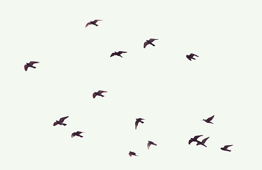Silhouette of flying pigeons 479306860