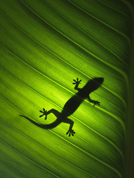 Silhouette Of Gekko Wall Art