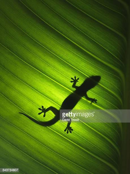 Silhouette of gekko
