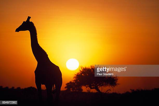 Silhouette of Giraffe at Sunrise