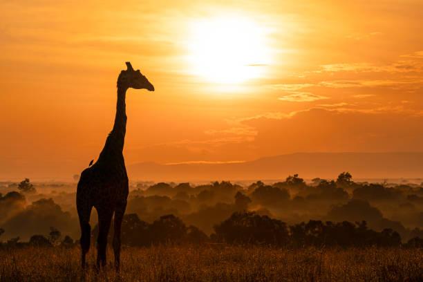 Silhouette of giraffe standing on field against sky during sunset