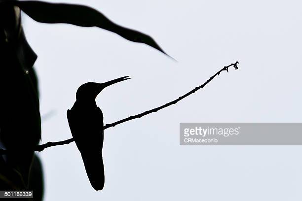 silhouette of hummingbird - crmacedonio stock pictures, royalty-free photos & images