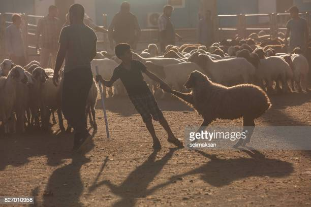 silhouette of livestock auction market at the down in eve of eid al-adha - eid al adha stock pictures, royalty-free photos & images