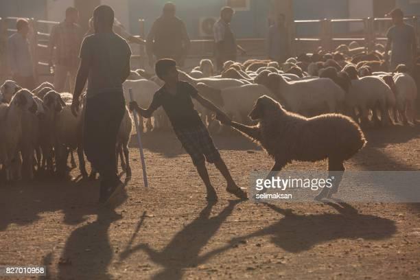 silhouette du marché aux enchères de bétail au down à la veille de l'aïd al-adha - aid el kebir photos et images de collection