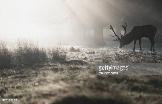 Silhouette of male deer, Richmond, London, England, UK