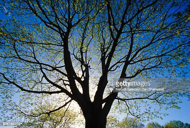 silhouette of maple tree in spring - dan sherwood photography stock pictures, royalty-free photos & images