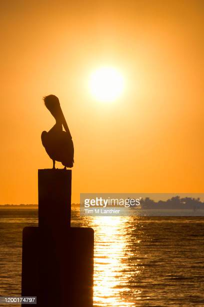 silhouette of pelican sitting on post with deep orange sunset on river - フォートマイヤーズ ストックフォトと画像