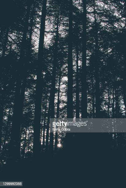 silhouette of pine trees - sunset - neha gupta stock pictures, royalty-free photos & images