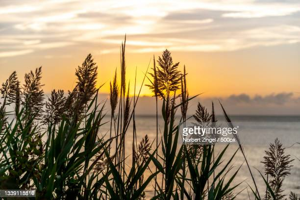 silhouette of plants growing on field against sky during sunset,long island,new york,united states,usa - norbert zingel stock-fotos und bilder