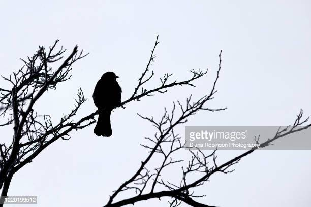 silhouette of red-winged blackbird in bare tree in the winter near the platte river, kearney, nebraska - one animal stock pictures, royalty-free photos & images