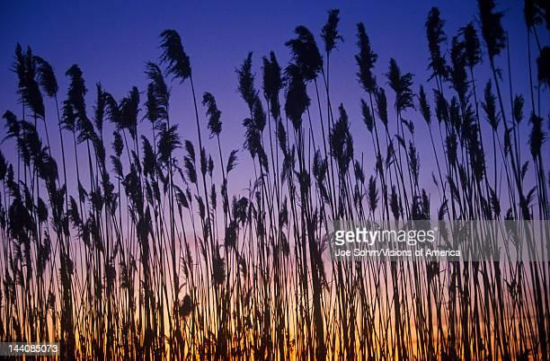 Silhouette of reeds in marsh at sunset Delaware Bay DE